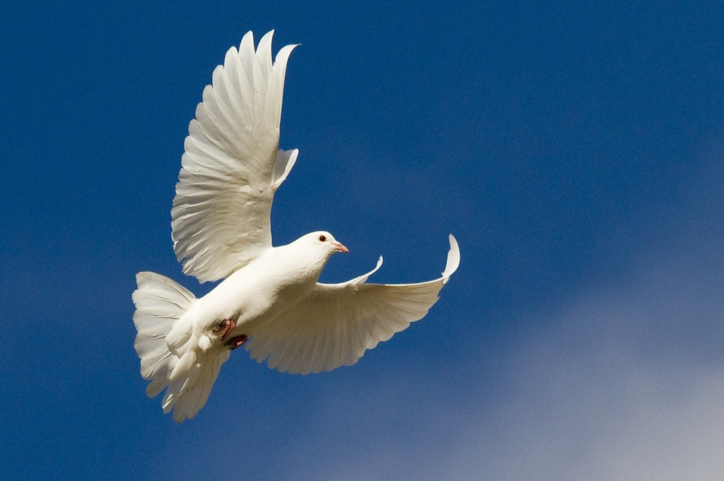 White_Dove